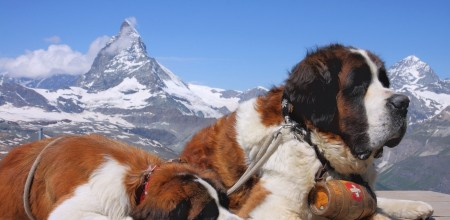 Dog-Saint-Bernard